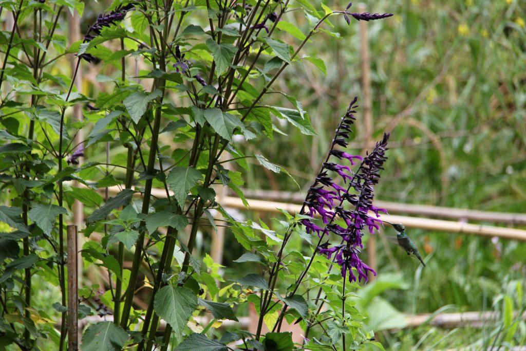 Le colibri butine dans le jardin de Nadia.